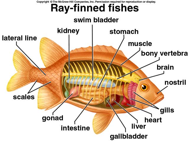 Ray-finned fish anatomy