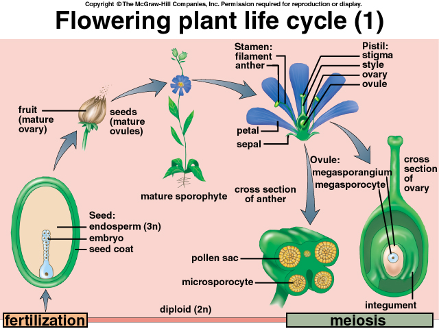 Pictures Of Lifecycle Of A Flower 68
