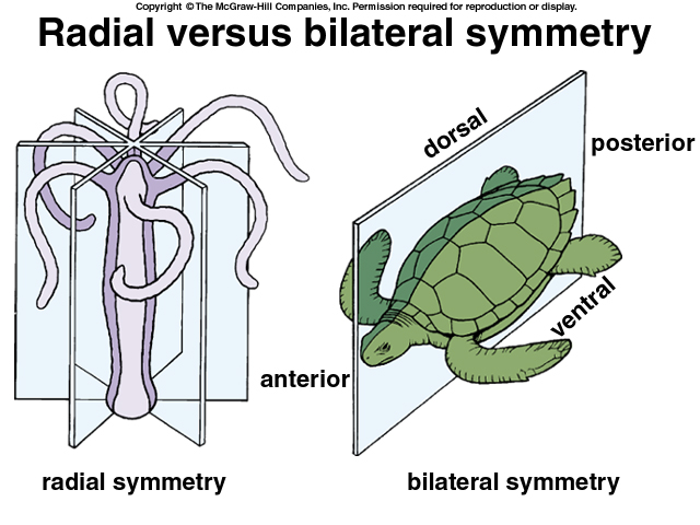 bilateral symmetry in animals - photo #14