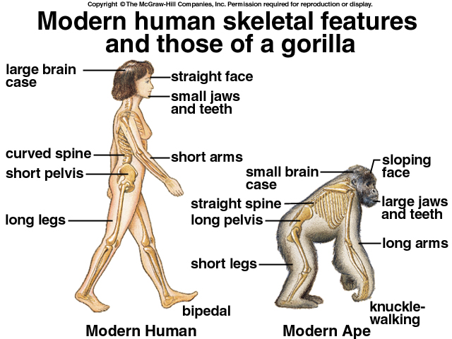 modern human vs. gorilla skeleton, Skeleton